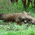 SIESTA TIME - THE WARTHOG – Phacochoerus aethiopicus by Magriet Meintjes