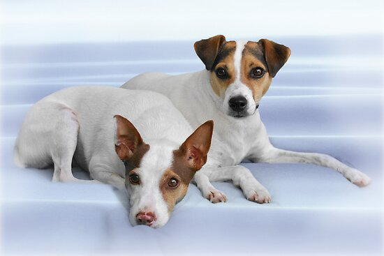 Jack Russel Terriers - We swear we didn't chase the cat! by Christine Till  @    CT-Graphics