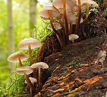 Mushroom stands in the forest - Allenbanks, Northumberland by Peter Mulligan