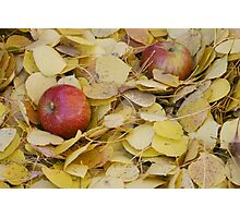 Two Apples in bright yellow leaves Photographic Print