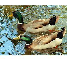 Duck pair Photographic Print
