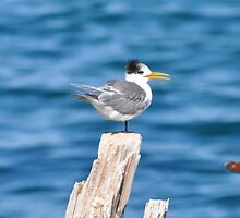 Young chick standing on one leg by Ian Berry