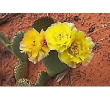 Three Blooms of Prickly Pear Photographic Print