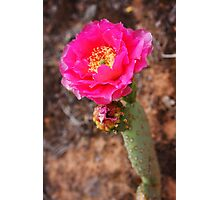 Pink Prickly Pear Cactus Photographic Print