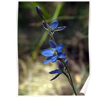 Blue Sun Orchid (Thelymitra media) Poster