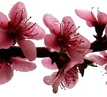 nectarine blossom by Steve Scully