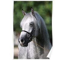 Grey Stallion Poster