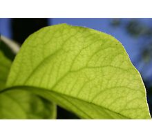 quince leaf Photographic Print