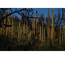 More grass trees Photographic Print