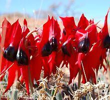 Sturt's Desert Pea, South Australia by Joanna Beilby