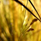 Golden Grass by ryanjbolger