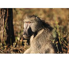 Male baboon Photographic Print