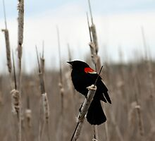 Red -Winged Blackbird by Barry W  King