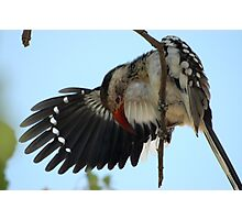 Red-billed Hornbill - Botswana Photographic Print