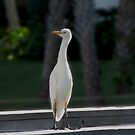 Kathy's Cattle Egret , looking out for others!!!! by Brenda Dow