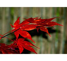Red Maple, Green Bamboo Photographic Print