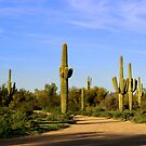 Saguaro Cactus in Arizona by Peggy Berger