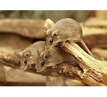 Harvest Mice Photographic Print