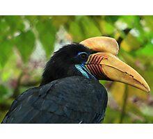 Wrinkled Hornbill Photographic Print
