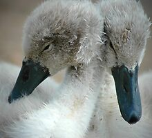 Time For A Cuddle-Baby Cygnets by L. Haverkamp