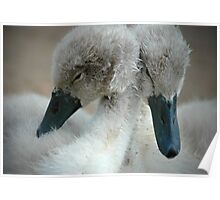 Time For A Cuddle-Baby Cygnets Poster