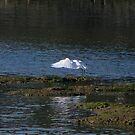 An Egret Fishing by Sharon Perrett
