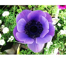 Grecian Windflower Photographic Print