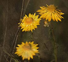 Conimbla Park Wildflowers by garts