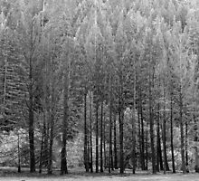 Trees, Anderson Valley, California by Cathy P. Austin