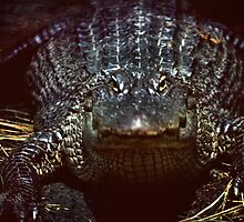 Gator Gaze by Jay Gross