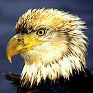Bald Eagle Portrait  #1 by lanebrain photography