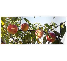 peaches at the lookout farm Poster