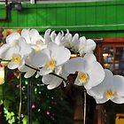 white orchids by Kara Brink