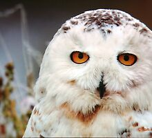 The Snowy Owl by Pam Moore