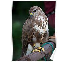 Saker Falcon posing Poster