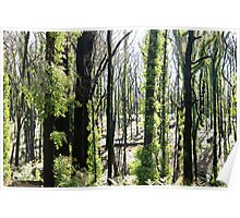 regrowth after fires Poster
