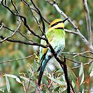 rainbow Bee-Eater by Rick Playle