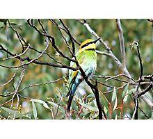 rainbow Bee-Eater Photographic Print
