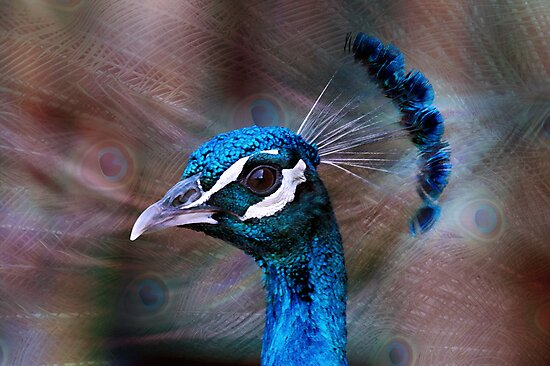 Mr Peacock up Close  by Jenny Dean