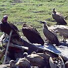 Vultures devouring an elephant carcass - Kruger NP by Bev Pascoe