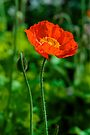 Red Poppy for Remembrance Day by Renee Hubbard Fine Art Photography