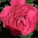 Crimson Velvet Rose by judygal