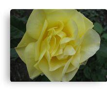 Yellow Jealousy Rose Canvas Print