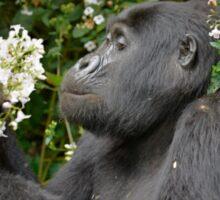 mountain gorilla eating flowers, Uganda Sticker