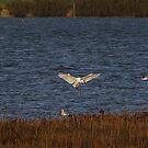 Egret Landing by Sharon Perrett