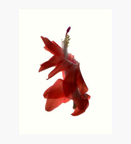 christmas cactus flower III Art Print