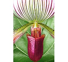 Pitcher Orchid © Photographic Print