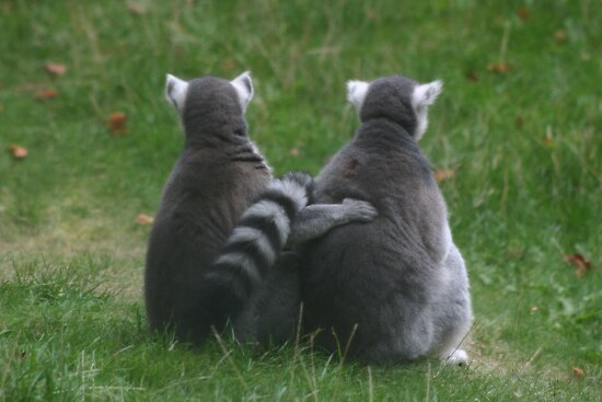 Lemur love by Sandra O'Connor