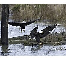 Pair of Eagles at Mealtime Photographic Print