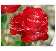 perfect red rose with raindrops Poster